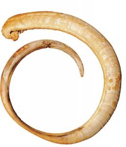 Dent de Cochon
